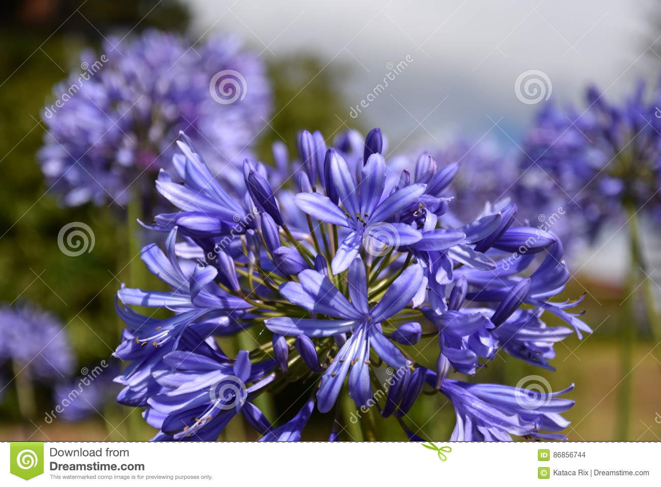 Closeup photo of lily of the nile also called african blue lily closeup photo of lily of the nile also called african blue lily flower izmirmasajfo