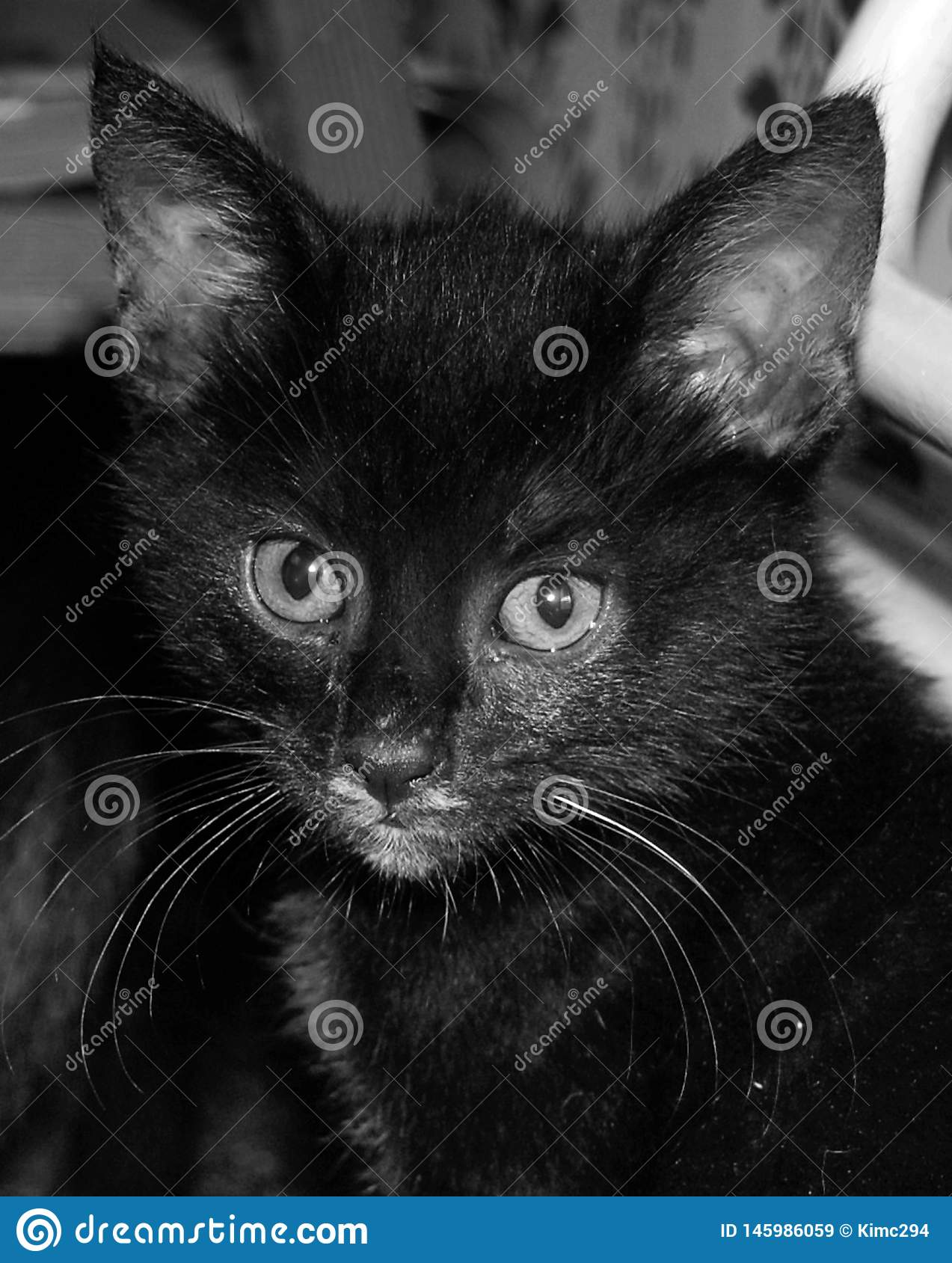 A close up portrait in black and white of a tiny black kitten