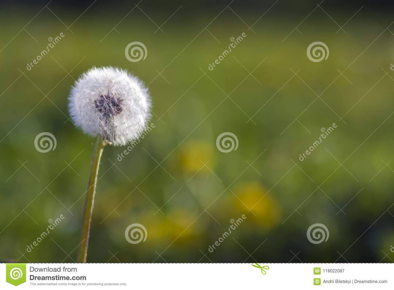 Closeup Picture Of Beautiful Overblown White Puffy Flower Dandel