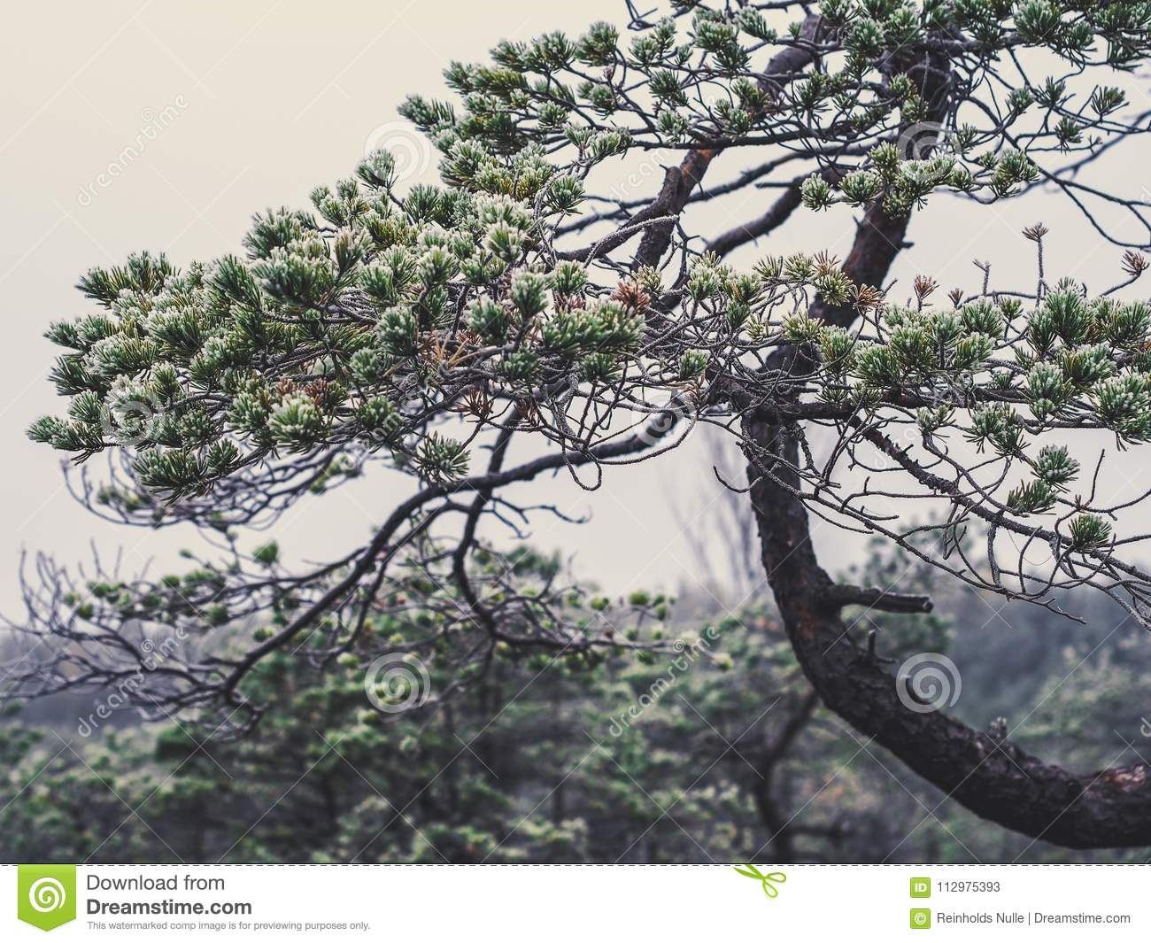 Closeup of Pine Tree Branch in Field of Kemeri moor in Latvia -