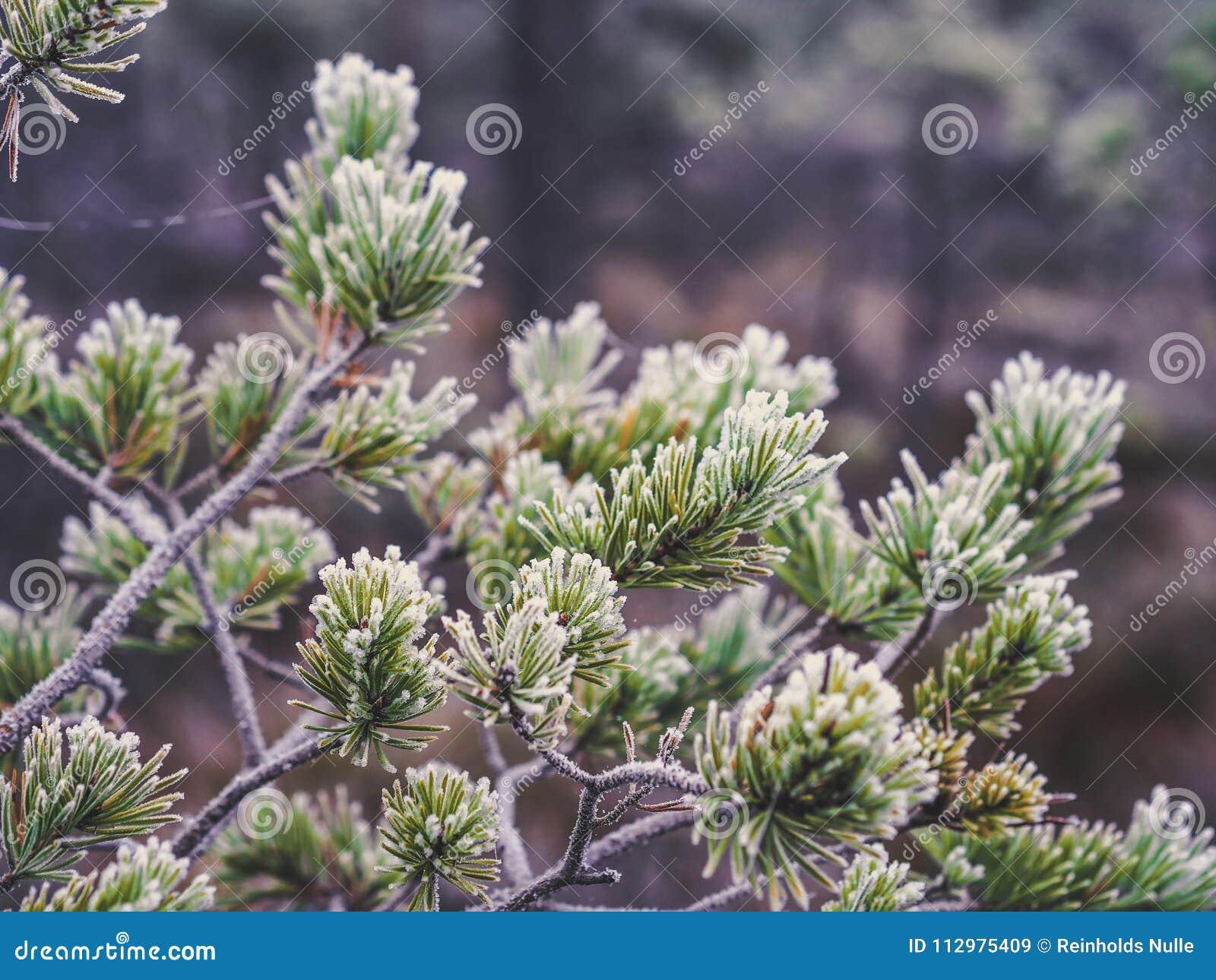 Closeup of Pine Tree Branch in Field of Kemeri moor in Latvia -