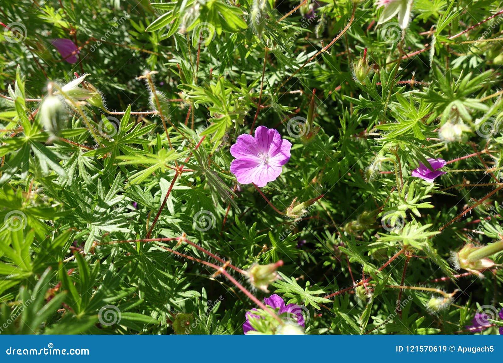 Closeup of pink flower of Geranium sanguineum