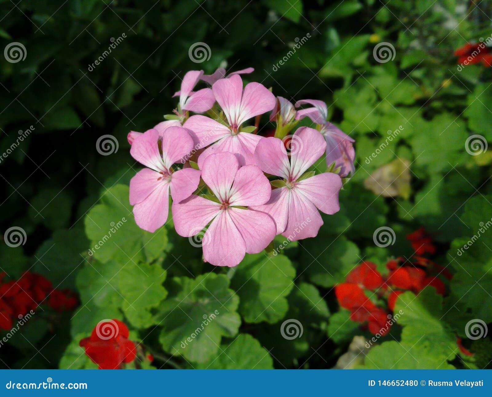 Closeup of pink geranium Pelargonium