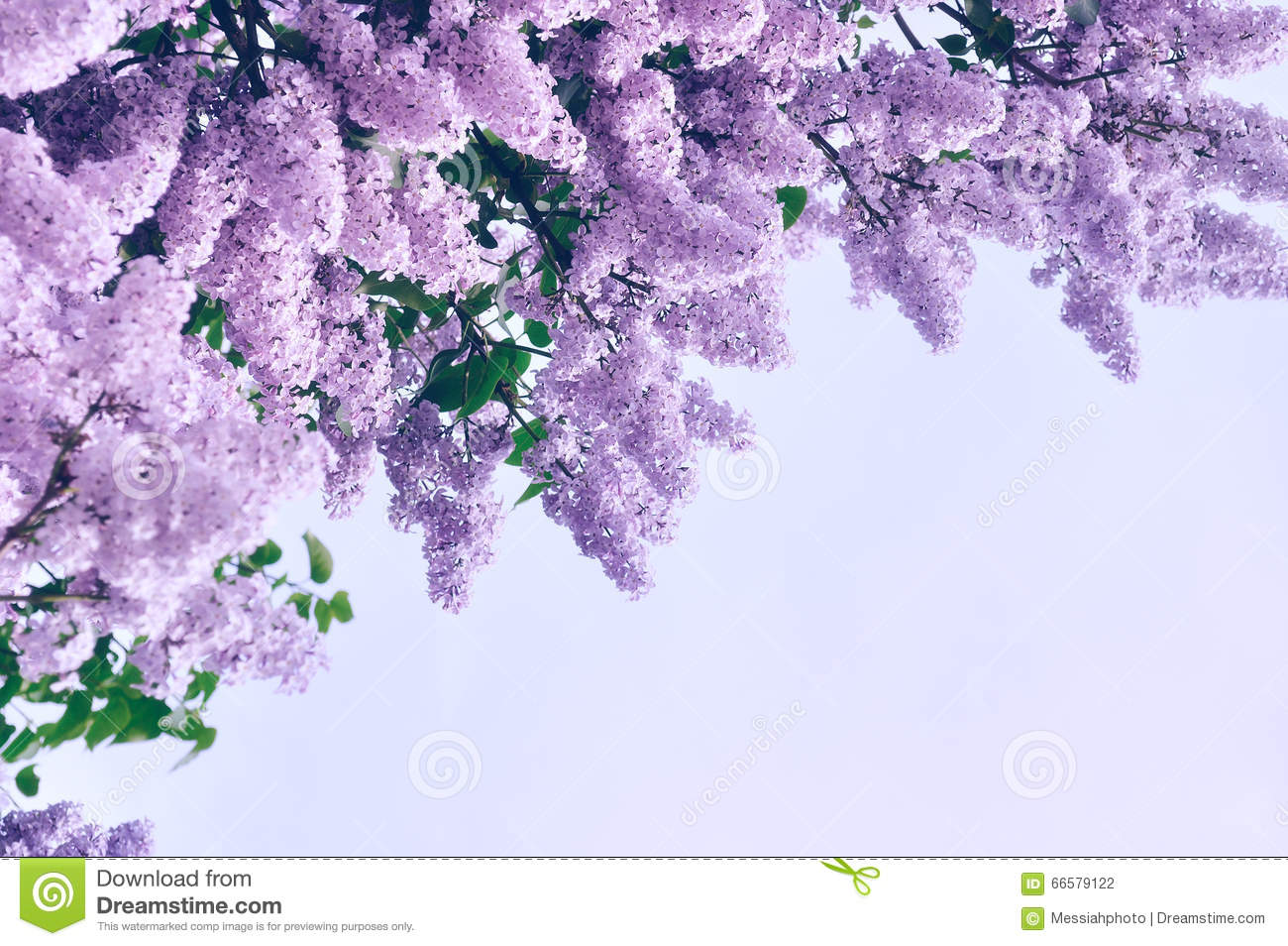 Closeup Of Pink Lilac Flowers Pastel And Soft Focus