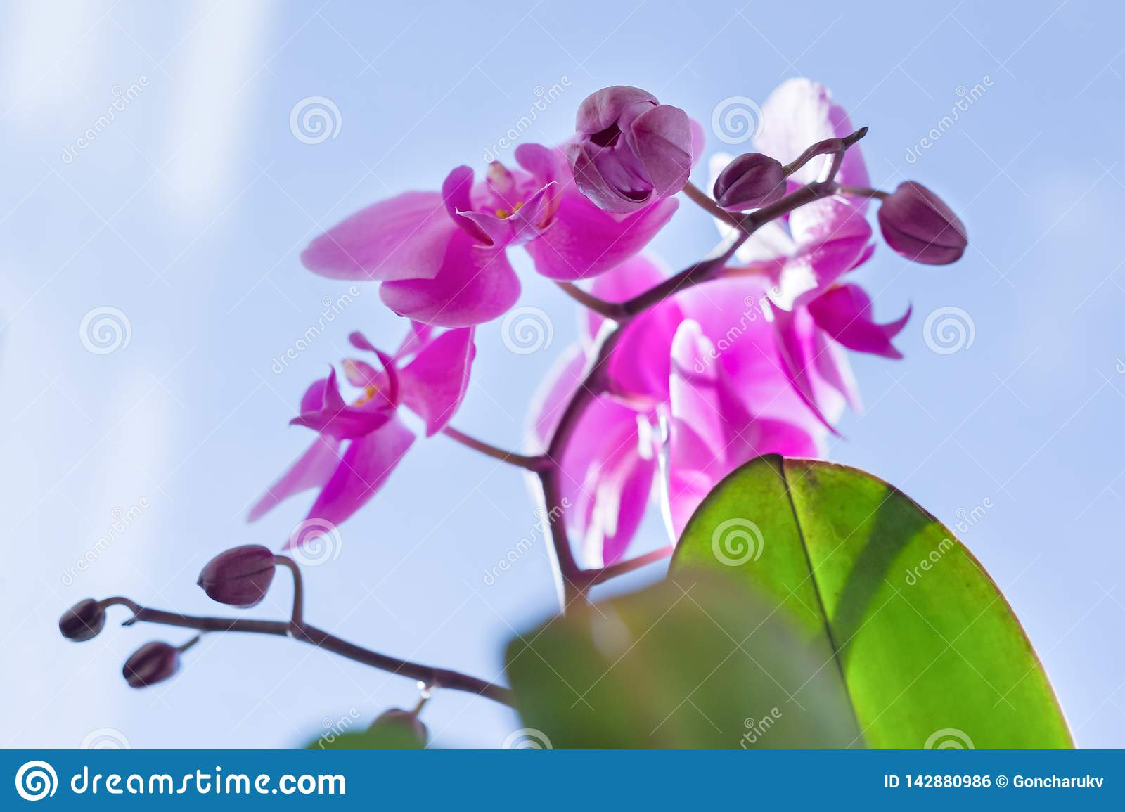 Closeup of pink purple orchid flowers, blue sunny sky background, spring at home, spring holidays