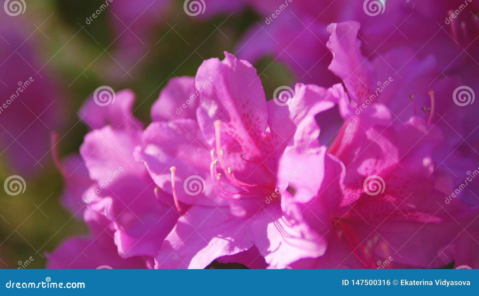 Closeup of pink wild rosemary flowers.