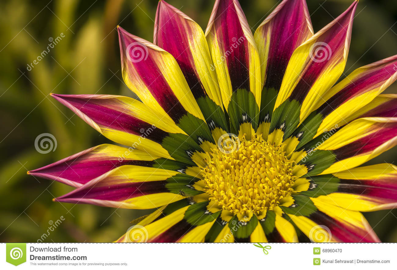 Closeup of a pink yellow green orange color gazania flower stock closeup of a pink yellow green orange color gazania flower izmirmasajfo
