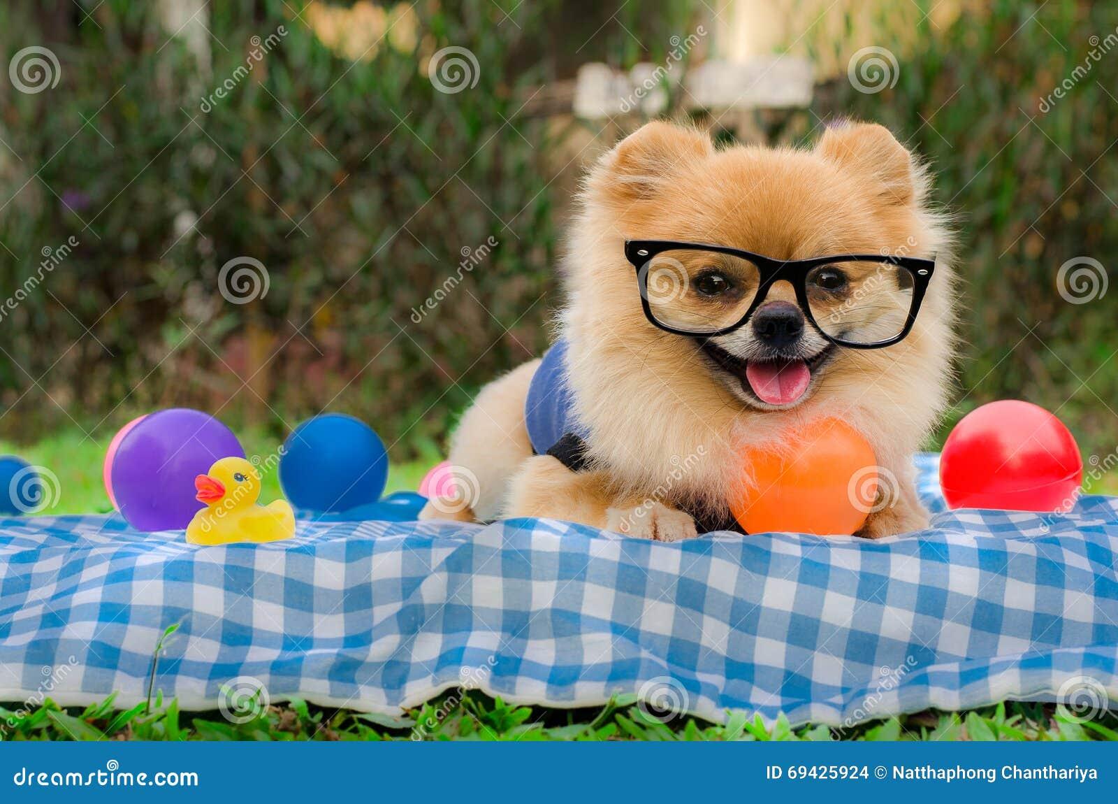 Closeup Of A Pomeranian Dog Sitting On Grass Stock Photo Image Of