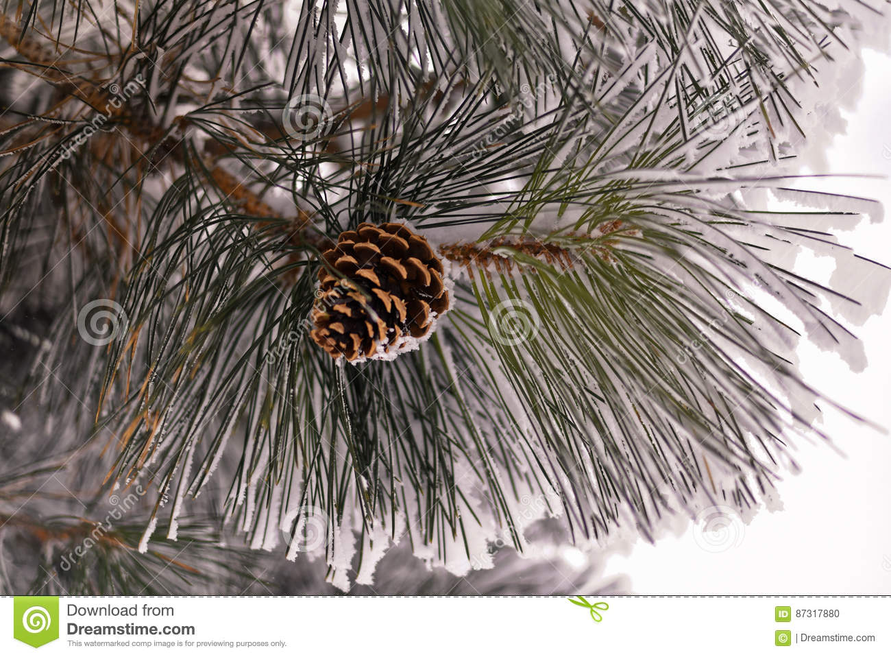 Closeup of a ponderosa pine tree cones on branches covered with frost and snow.