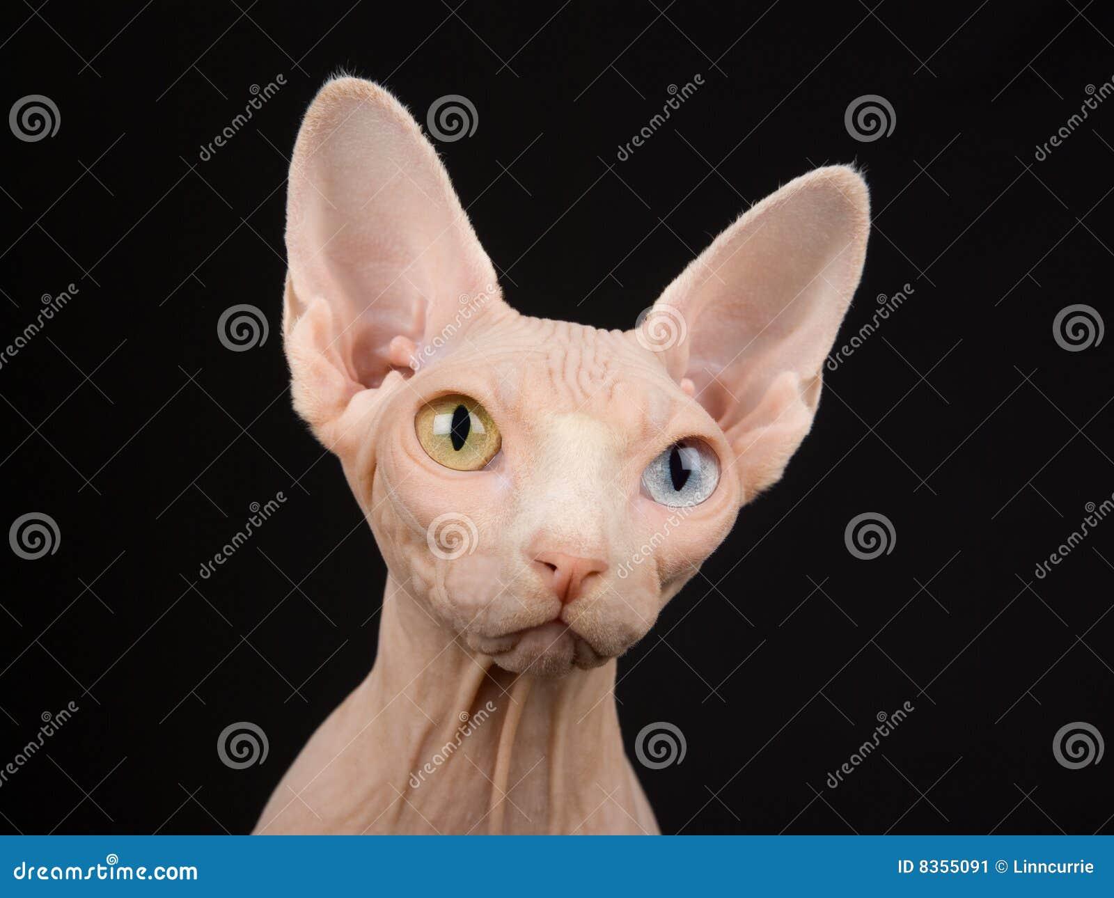 Closeup Portrait Of Adult Sphynx Stock Image - Image of