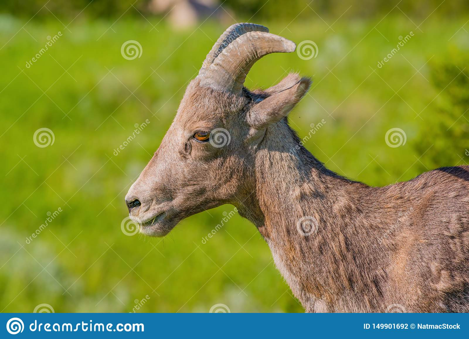 Closeup portrait of bighorn sheep in a hilly area of the Badlands National Park