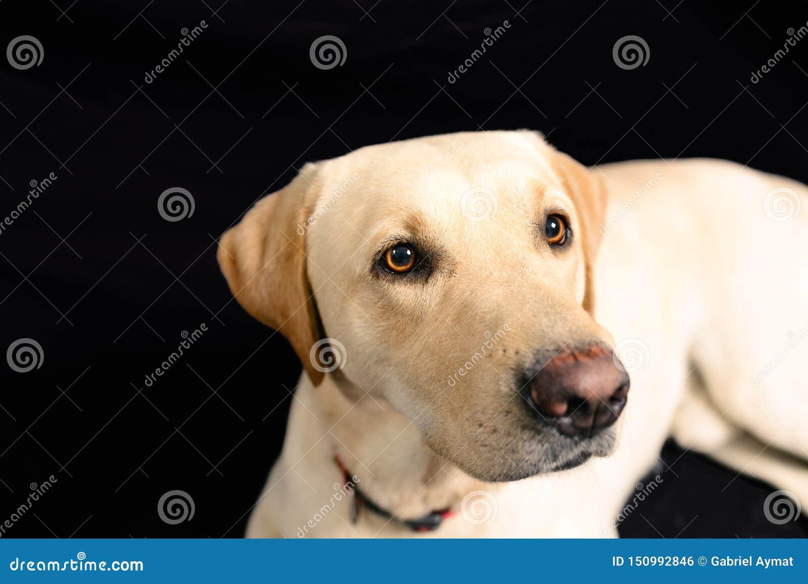 Closeup Portrait of blond labrador on black background