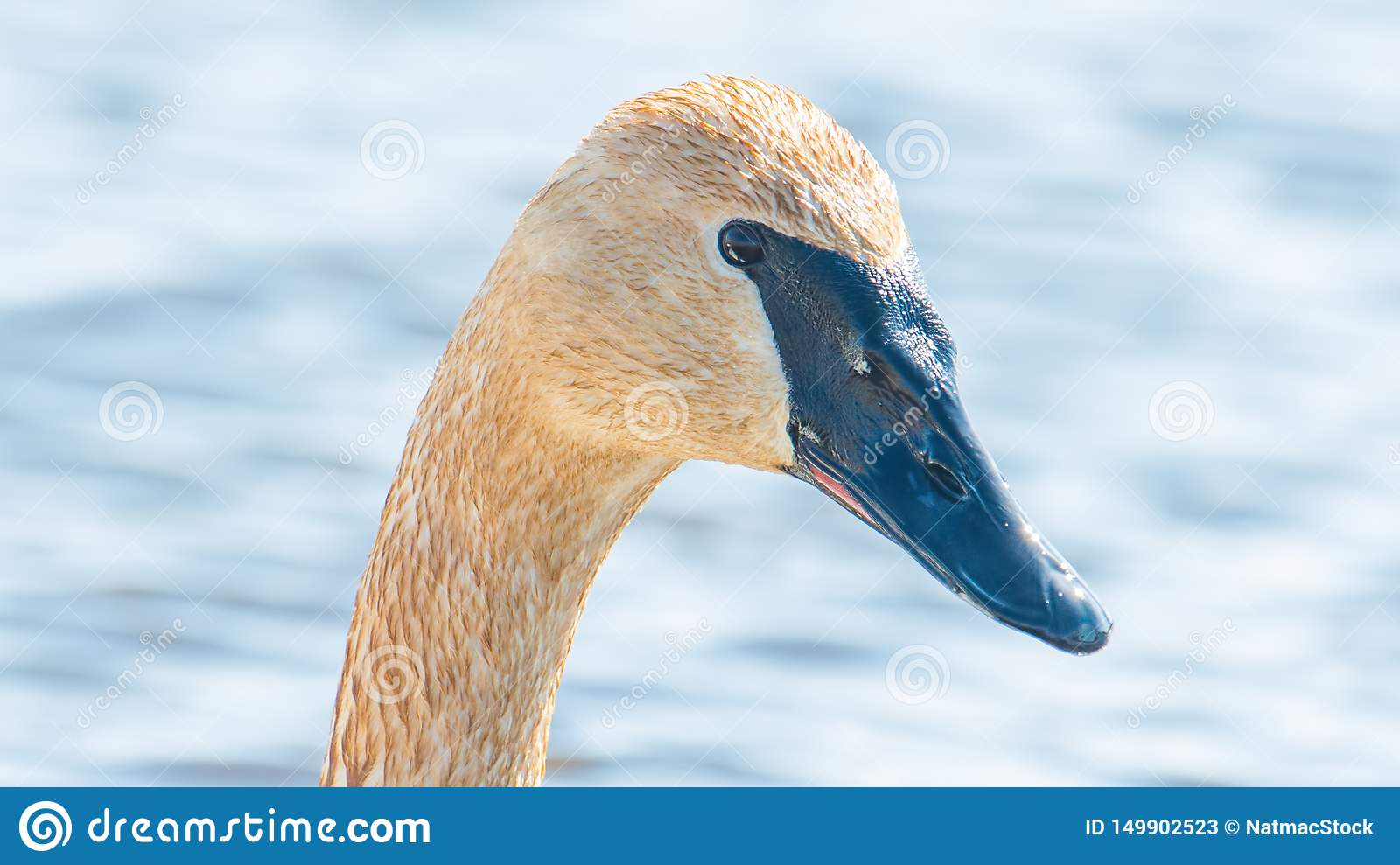 Closeup portrait of trumpeter swan head with detail of beautiful plumage, eye, and beak - in early Spring during migration - taken