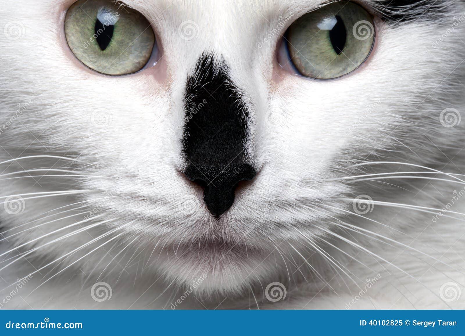 White Siamese Cat Black Nose