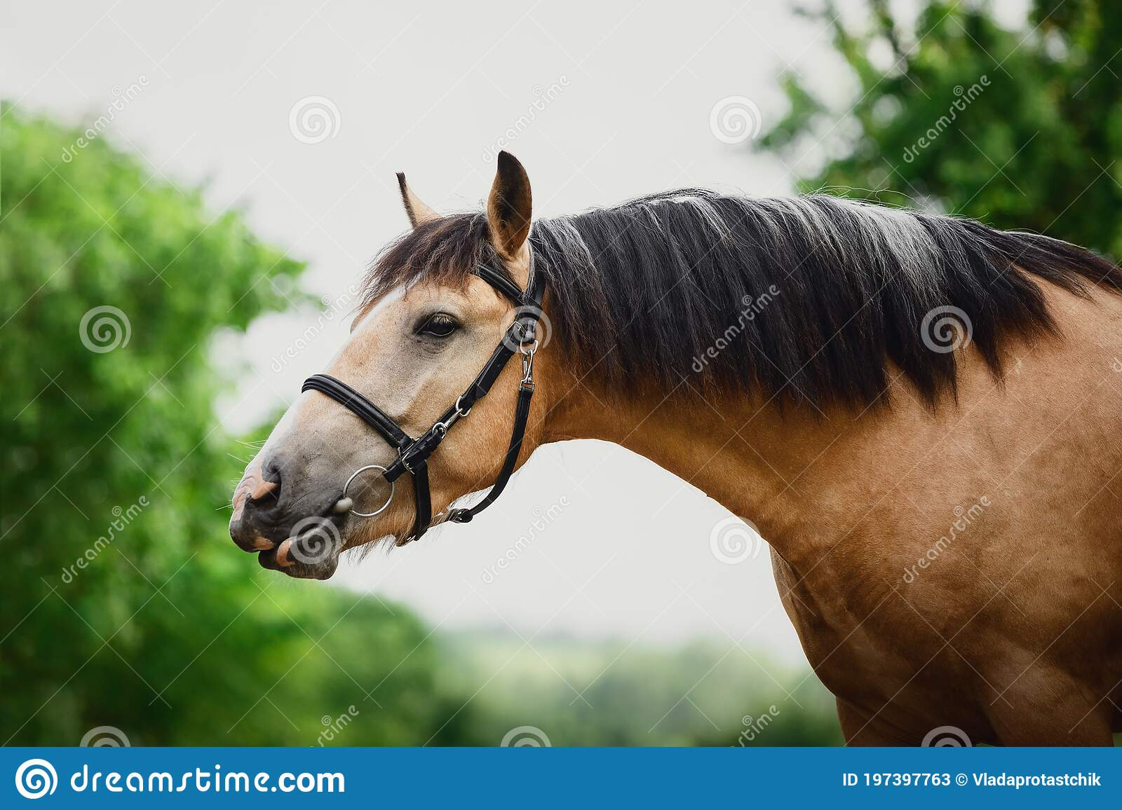Young Draft Buckskin Gelding Horse In Bridle On Sky And Trees Background In Summer Stock Image Image Of Little Meadow 197397763