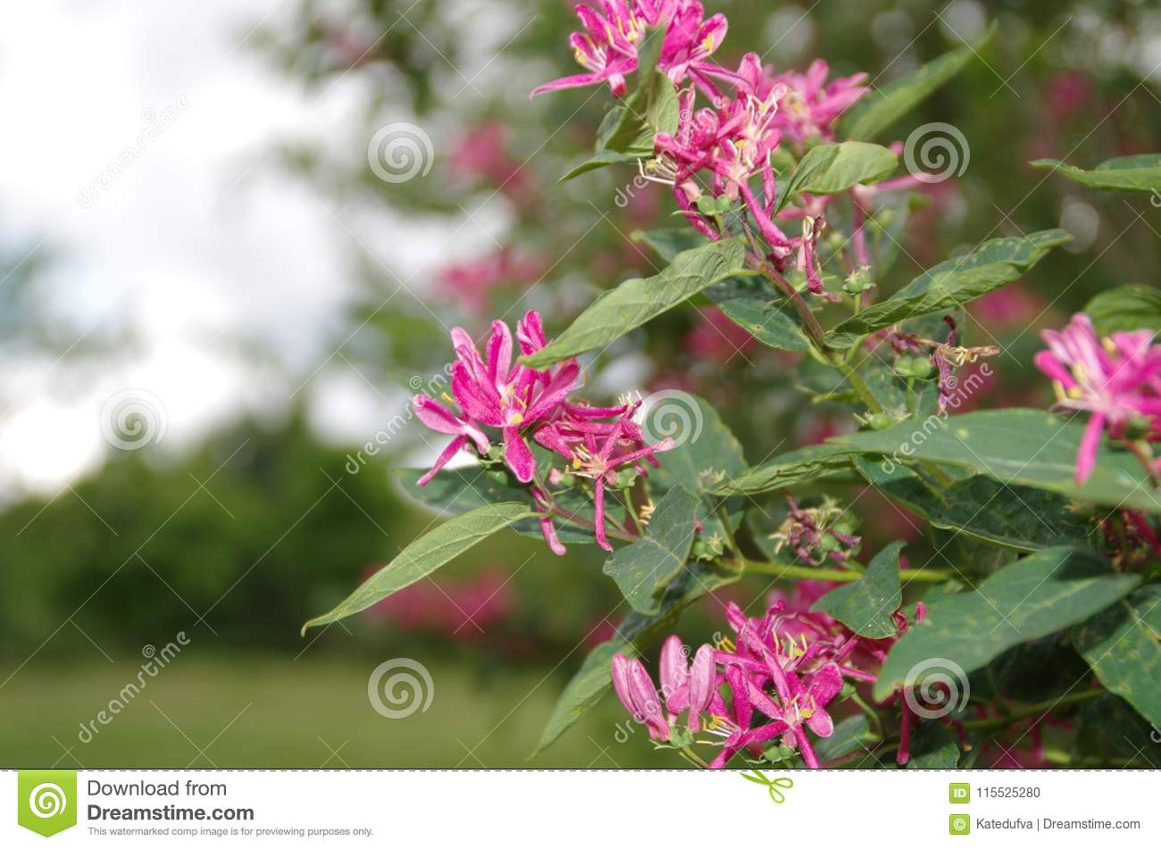 A Closeup From Pretty Red Flowers Of A Bush Stock Photo Image Of