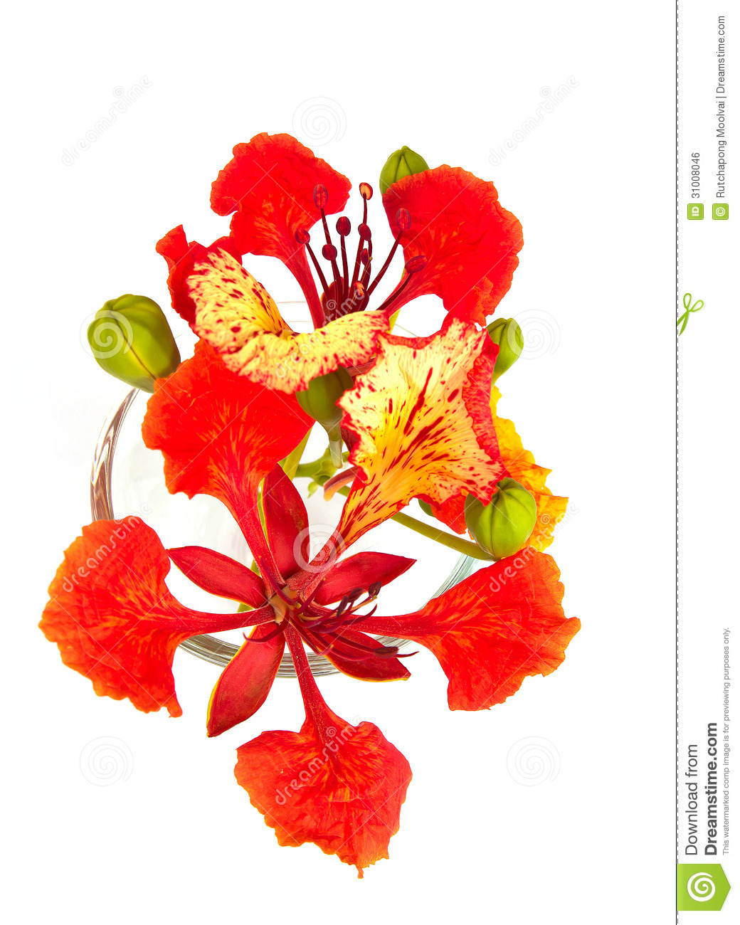Closeup Pride Of Barbados Isolated Stock Photo Image Of