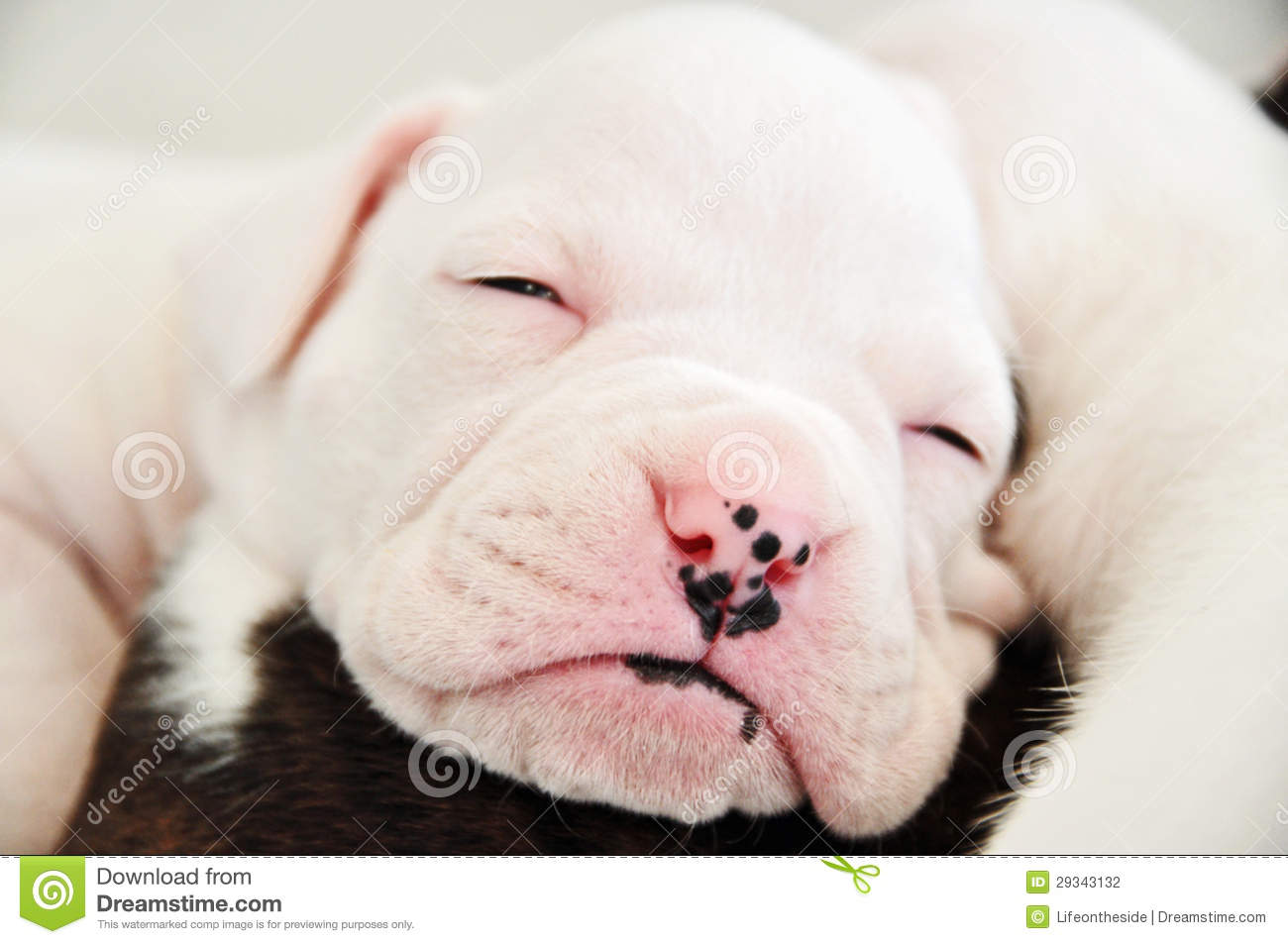 Closeup Pure Snow White Boxer Newborn Puppy Dog Stock ...
