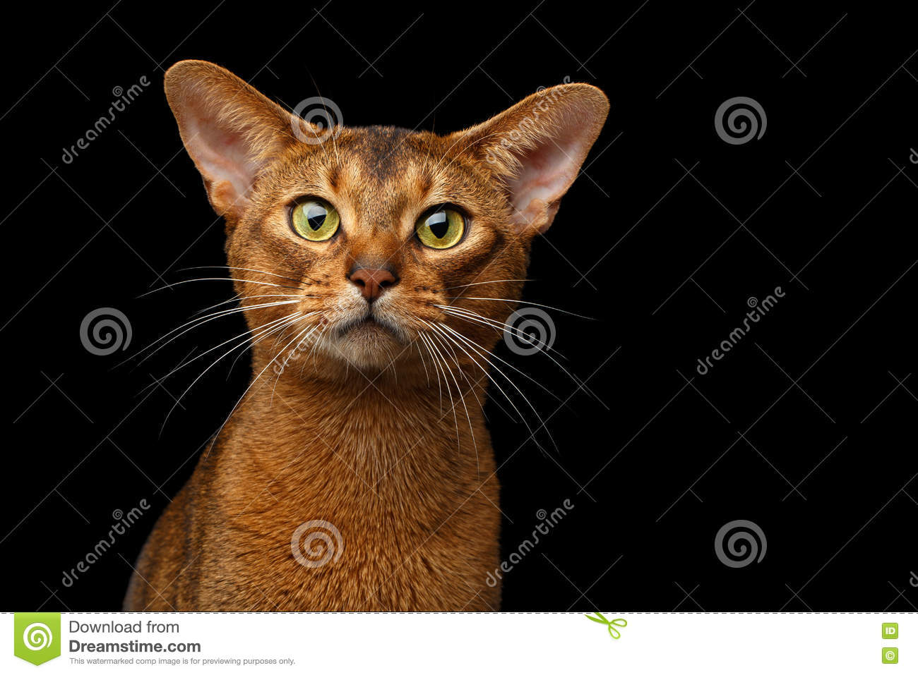 Closeup Purebred abyssinian cat portrait isolated on black background
