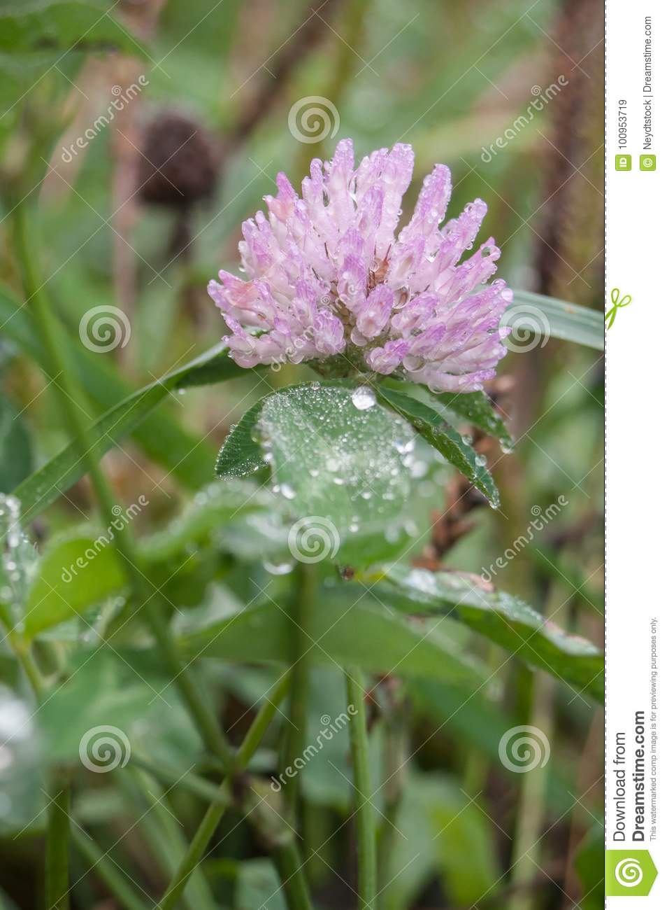 Purple Clover Flower In Grass With Small Rain Drops Stock Image