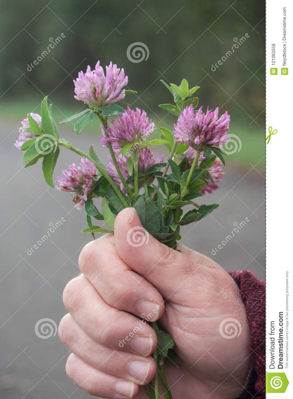 Purple Clover Flower In Hand Of Woman Stock Photo Image Of Offer