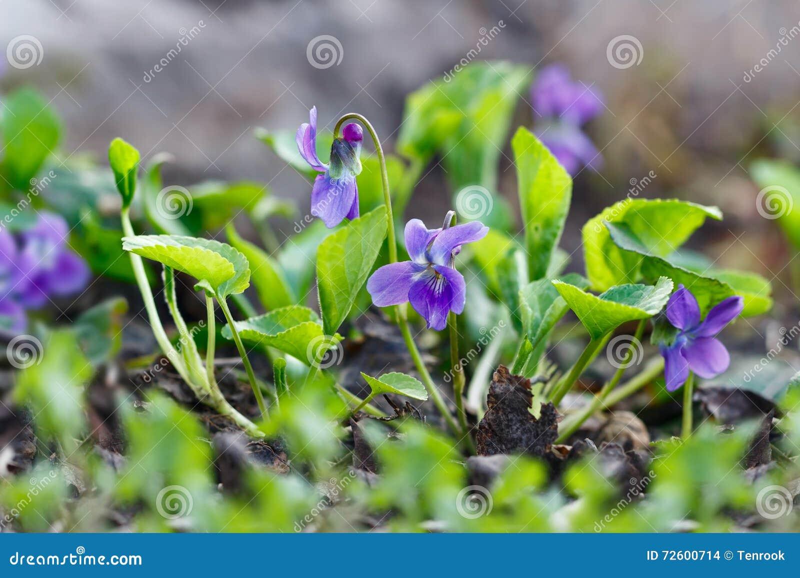 Closeup purple flowers blooming in spring in wild meadow nature download comp mightylinksfo