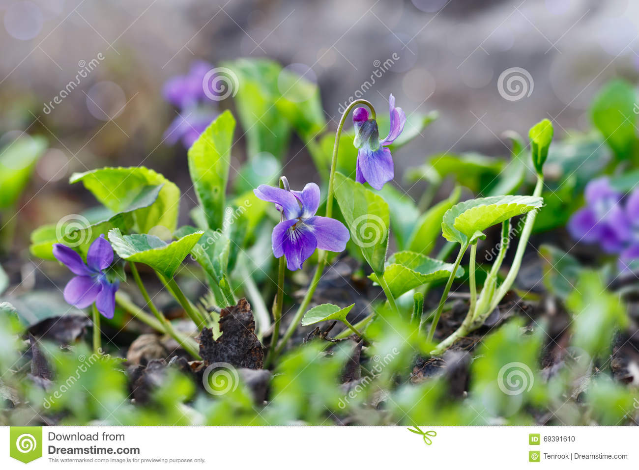 Closeup purple flowers scientific name viola odorata sweet vi closeup purple flowers scientific name viola odorata sweet violet english violet common violet or garden violet blooming in spring in wild meadow mightylinksfo