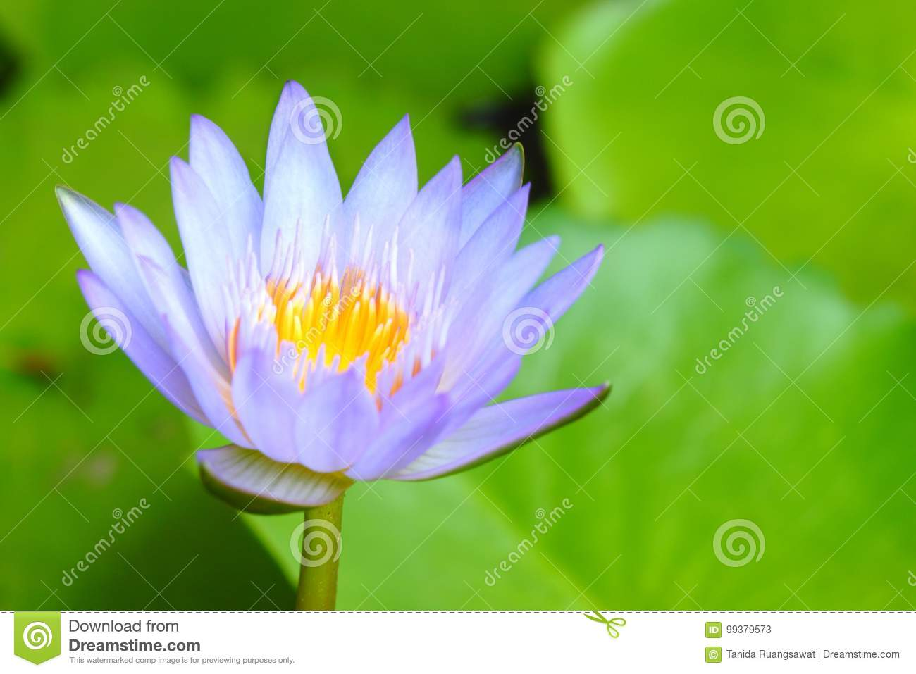 Closeup Purple Lotus Have Yellow Pollen In Pond On Green Lotus