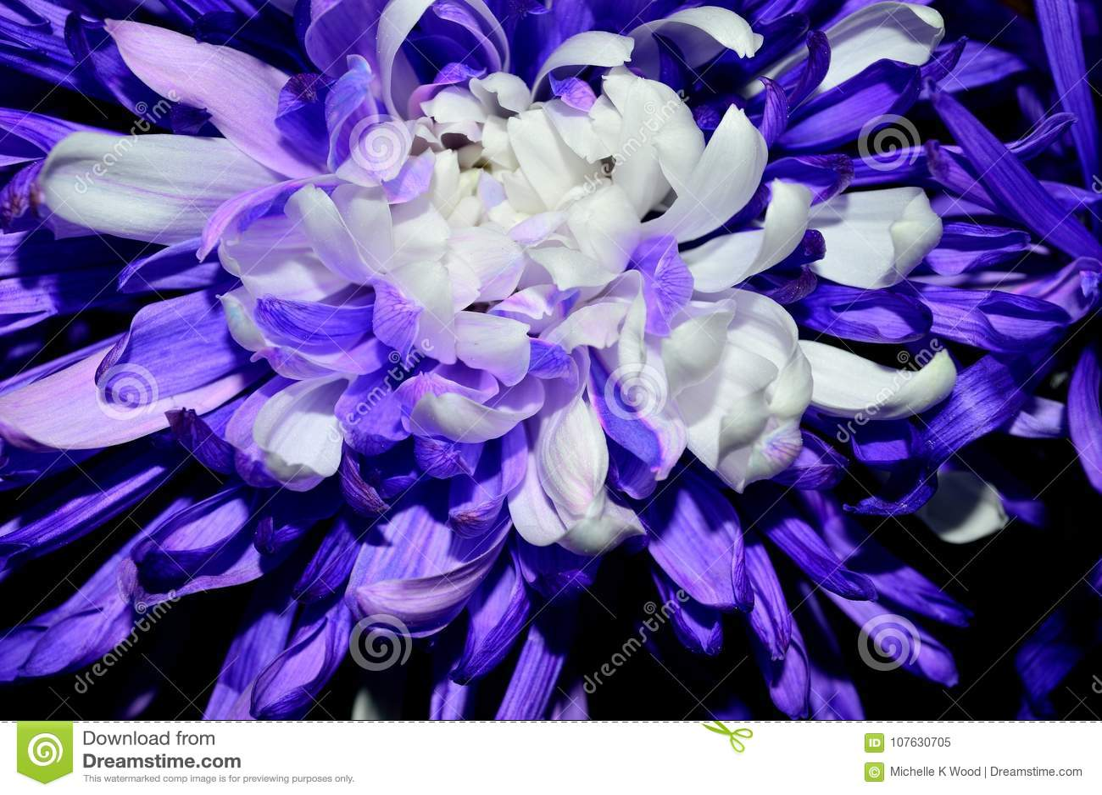 Closeup purple with white centered dahlia