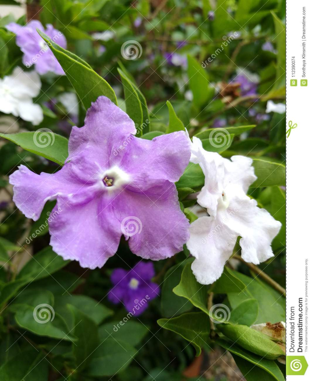 Purple and white flowers stock photo image of australis 112390074 closeup of purple and white flowers brunfelsia australis blooming with green leaves mightylinksfo