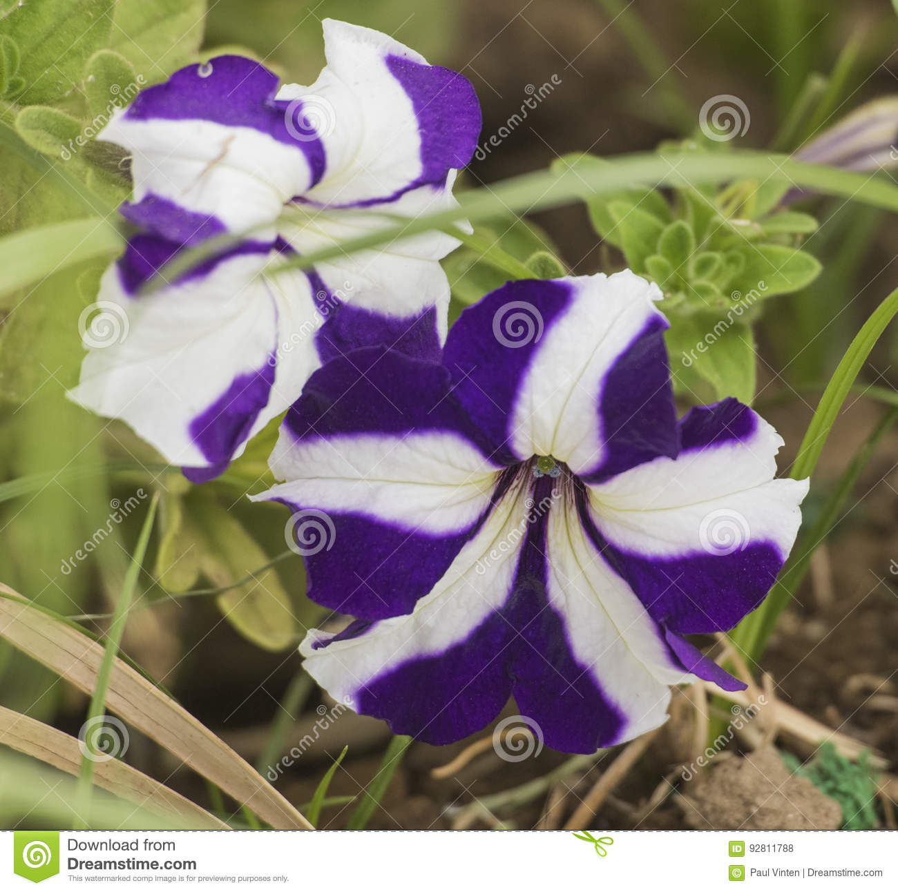 Closeup Of A Purple And White Pansy Flower Stock Photo Image Of