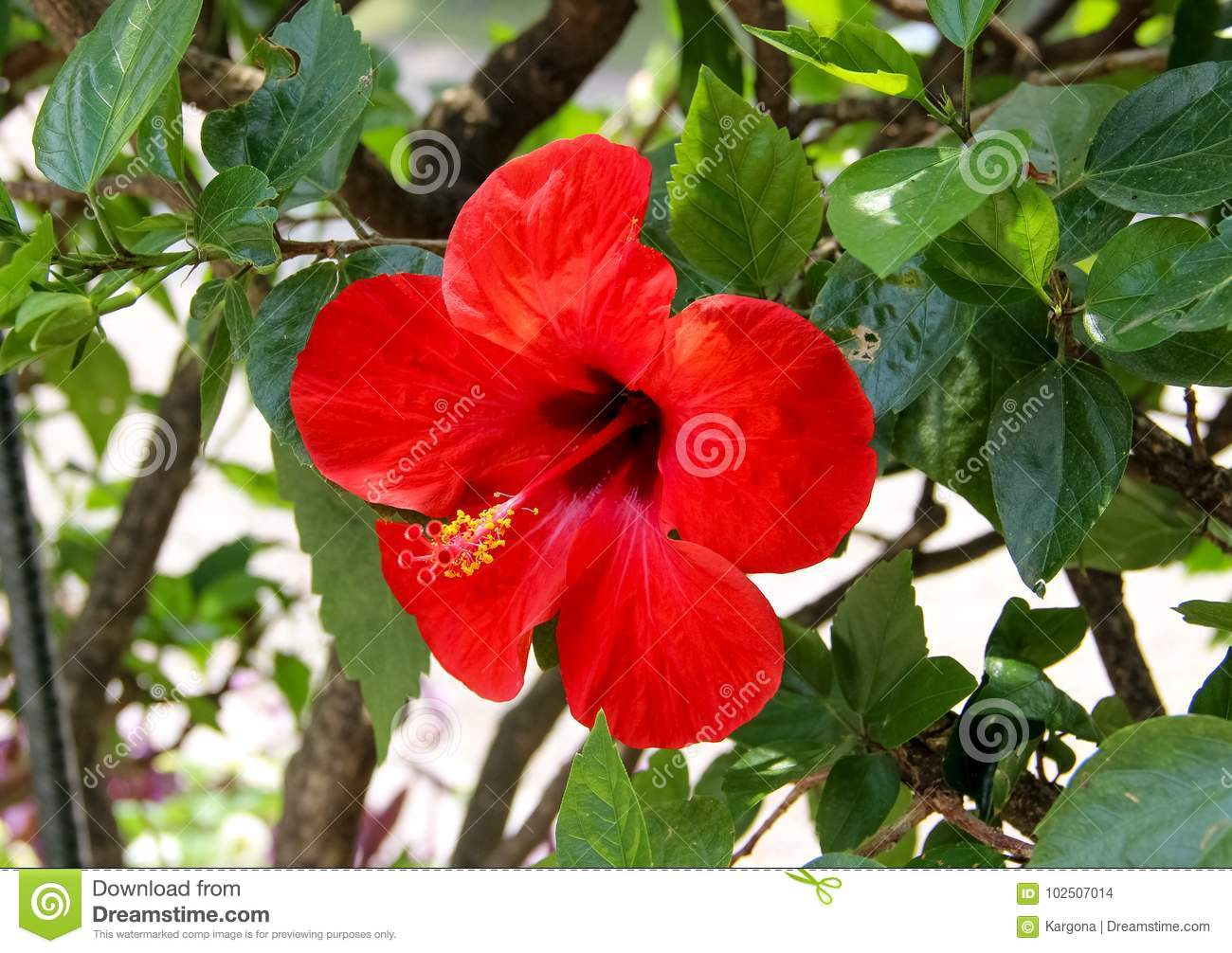 A red chinese hibiscus flower stock photo image of petal flower download a red chinese hibiscus flower stock photo image of petal flower 102507014 izmirmasajfo