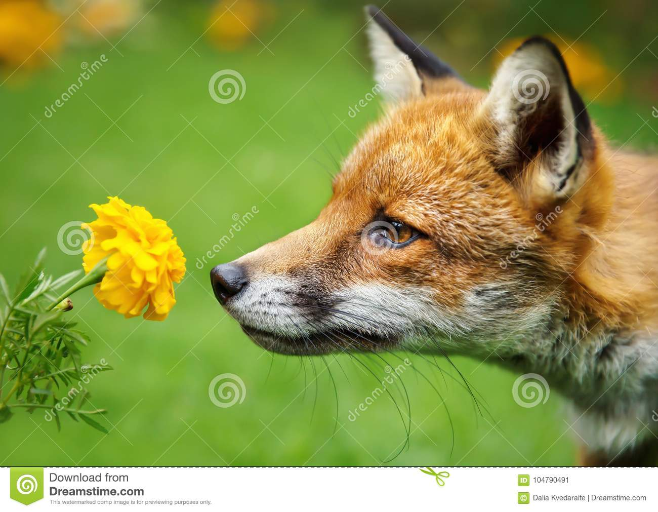 Closeup of a red fox smelling the flower