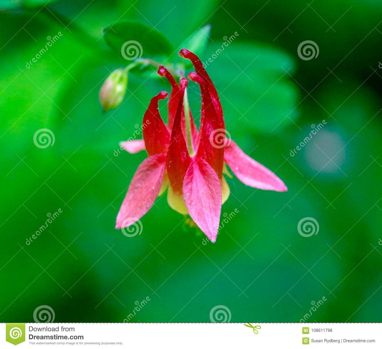 Closeup of a red pink and yellow columbine flower stock photo download closeup of a red pink and yellow columbine flower stock photo image of izmirmasajfo