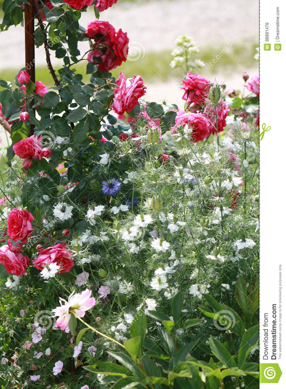 Closeup Of Red Roses On Metal Arbor Stock Photo Image Of Outdoor