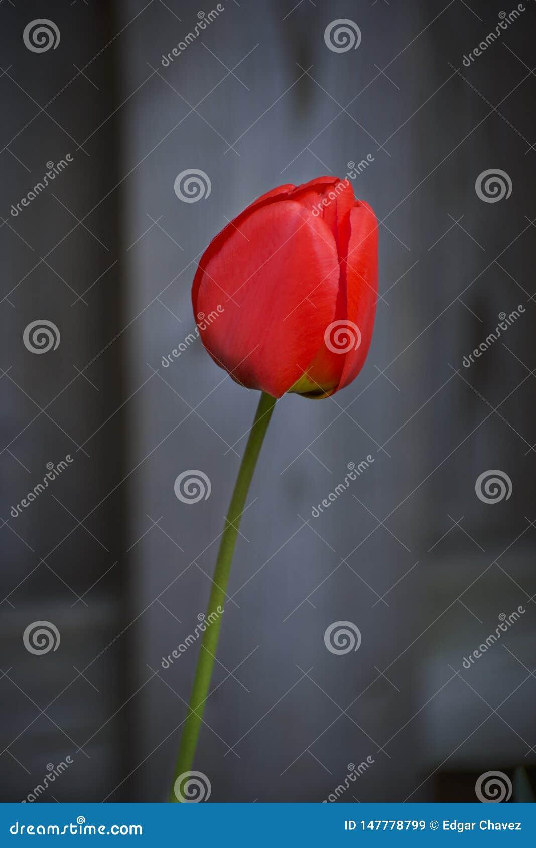 Closeup of a red tulip