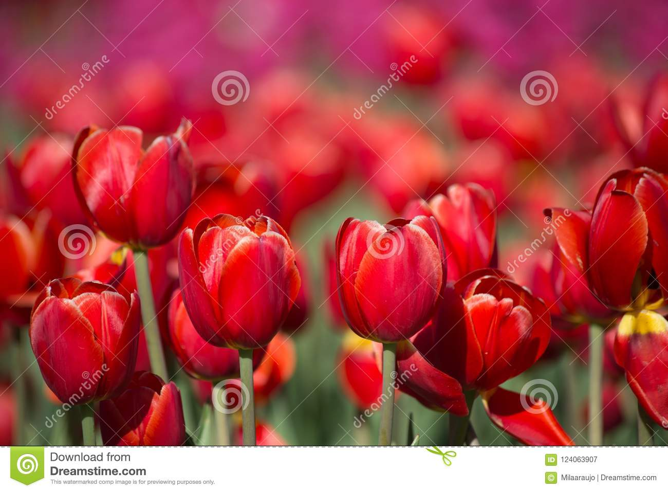 Closeup Red Tulip Field Stock Image Image Of Backgrounds 124063907