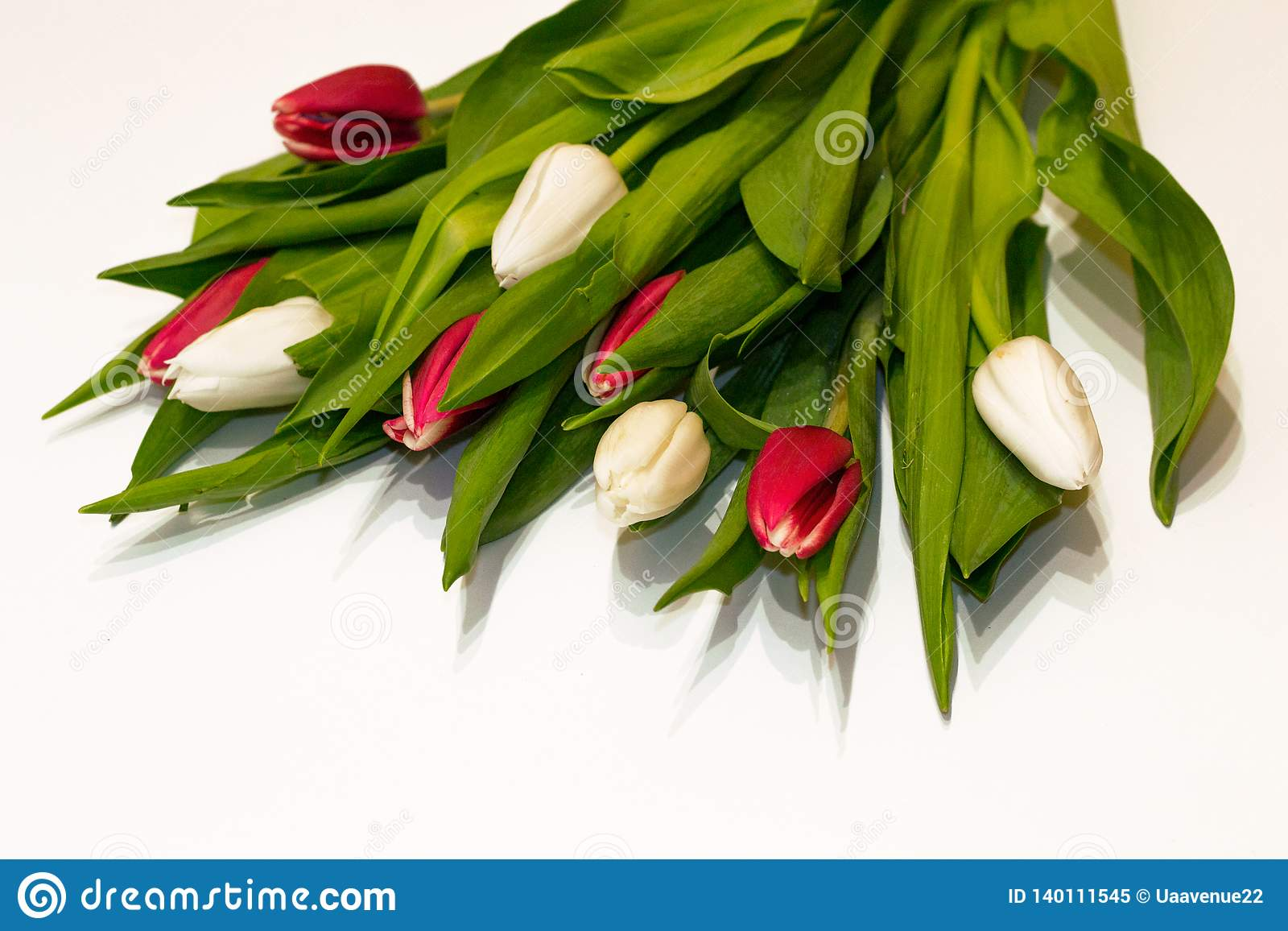 Closeup red and white fresh tulip flowers isolated on white background. Work of florist for preparing holidays. Valentine`s day