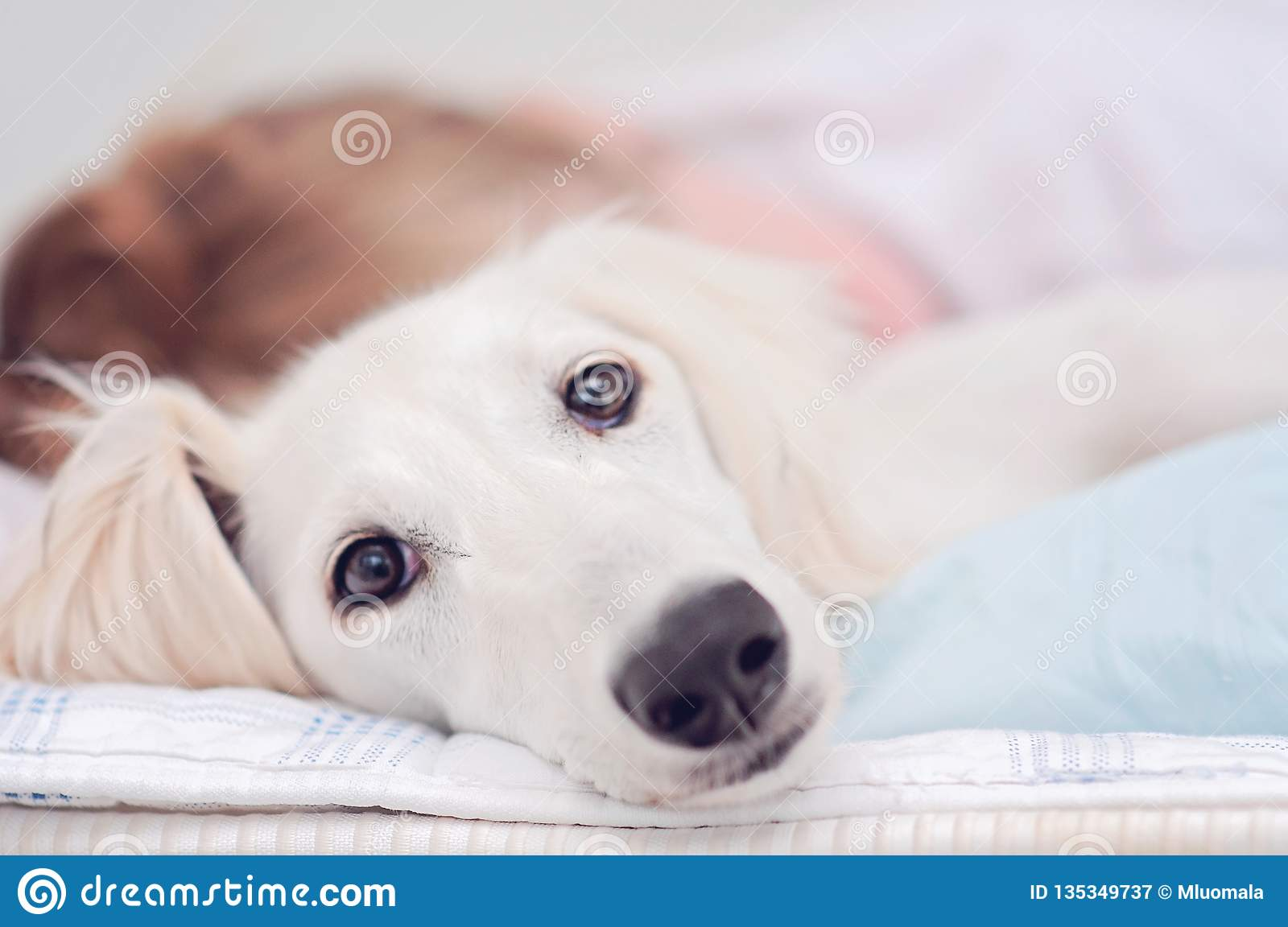 A closeup of a relaxed dog, little cute white saluki puppy persian greyhound together with a young girl who owns the pet. A