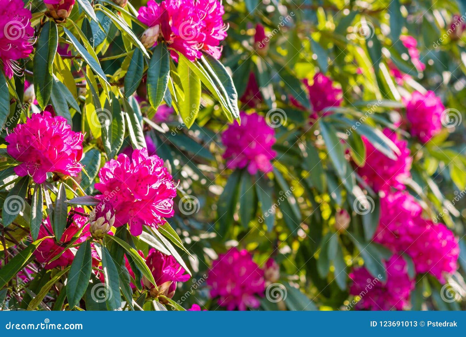 Rhododendrum Grandiflorum Bush With Pink Flowers In Bloom Stock