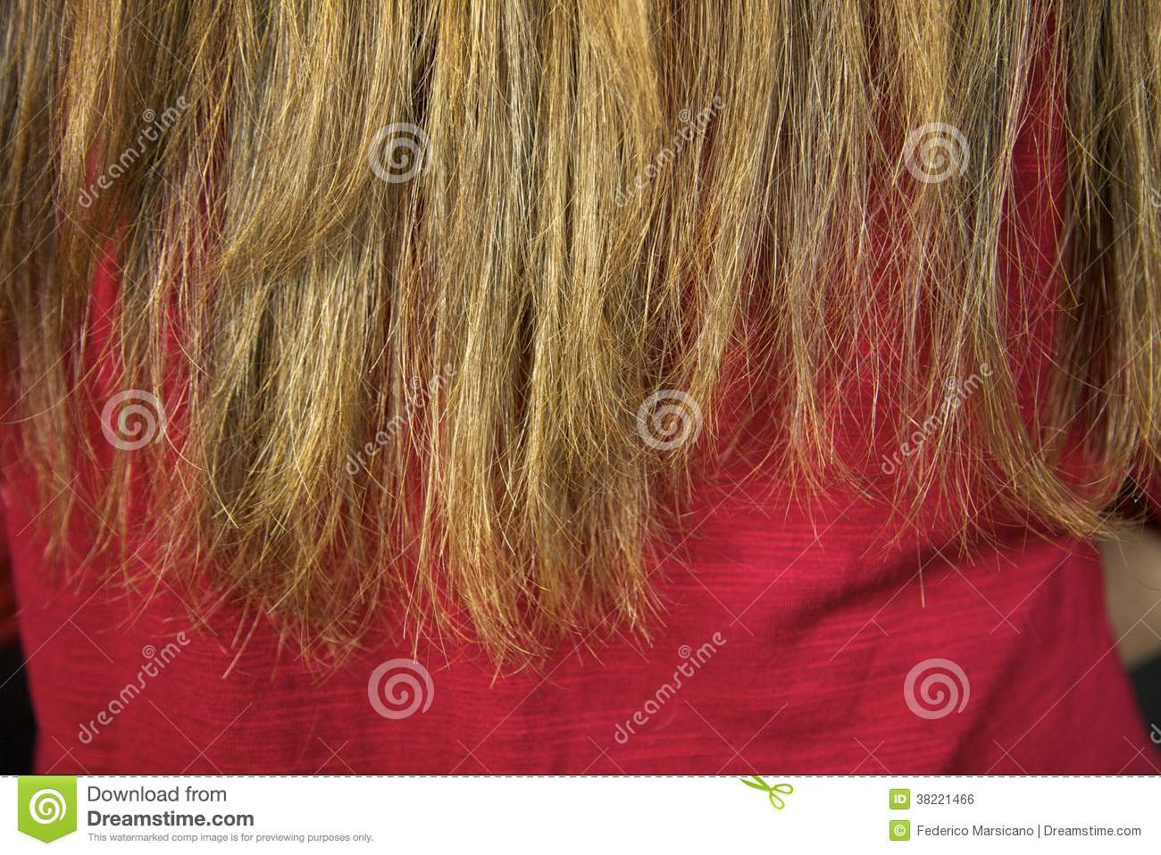 Closeup Of Ruined Split Ends Hair Ready To Be Cut Royalty