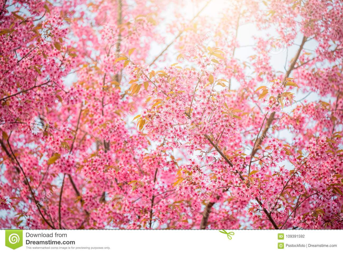 Sakura Flower In Japan Stock Photo Image Of Flora Spring 109391592