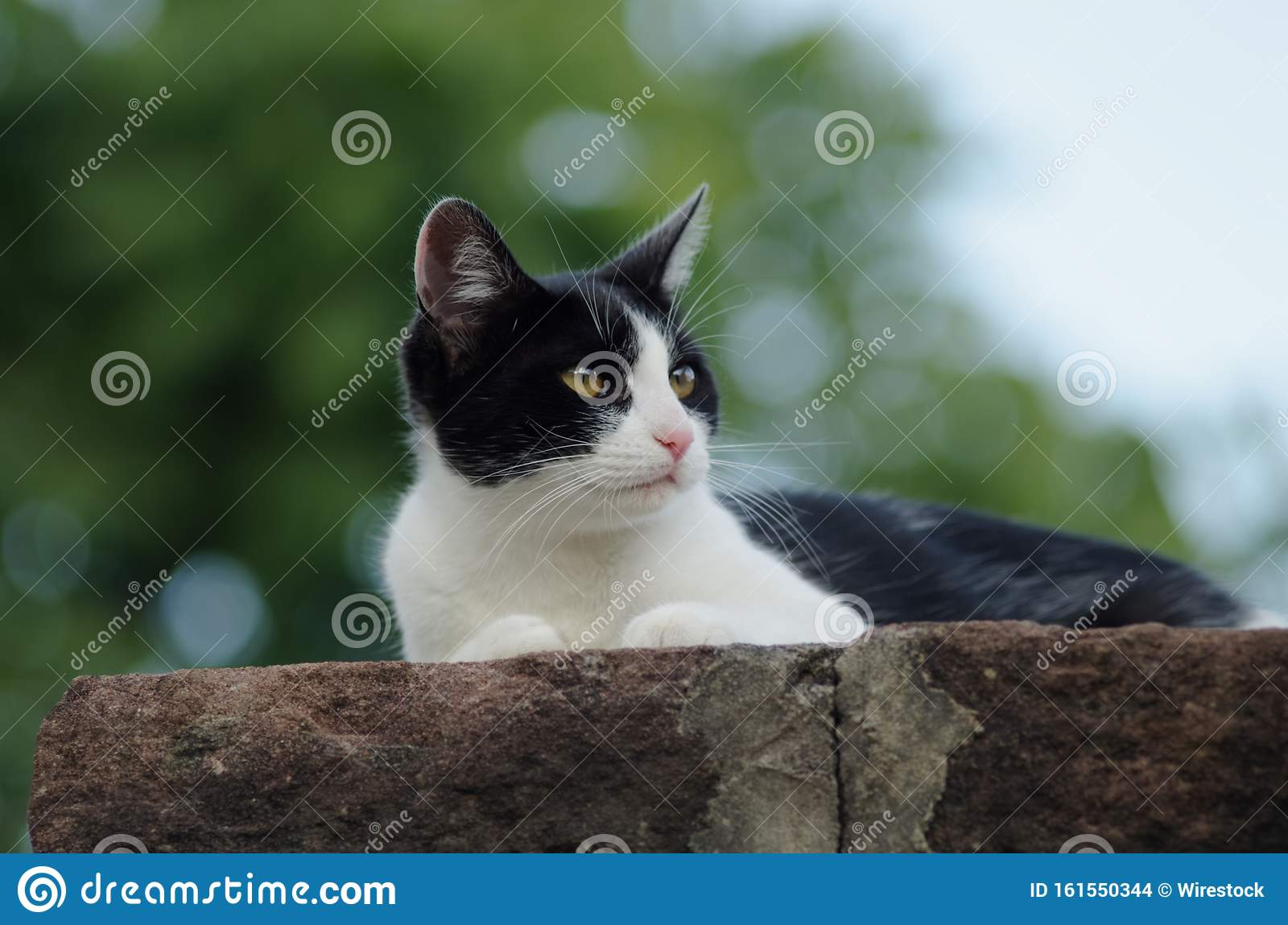 Closeup Shot Of A Cute Black And White Tuxedo Cat Lying On A Stone Perfect For A Cute Wallpaper Stock Photo Image Of Nose Baby 161550344