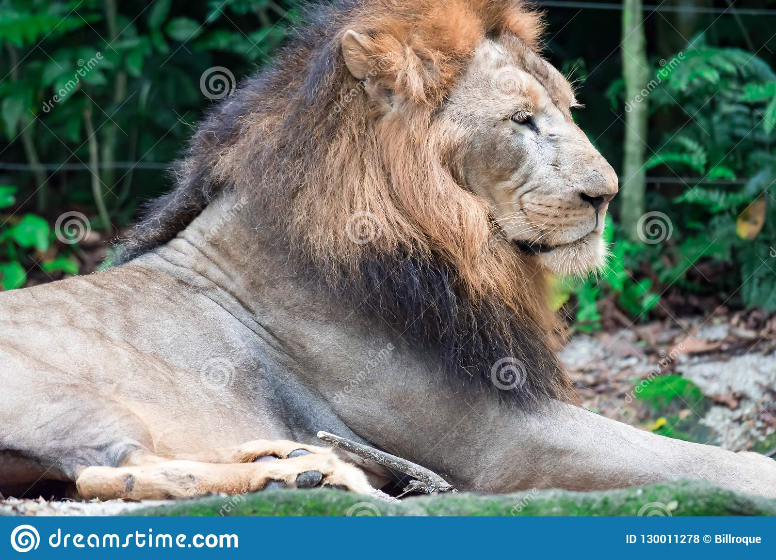 Closeup Shot Of A Muscular, Deep-chested Male Lion While ...