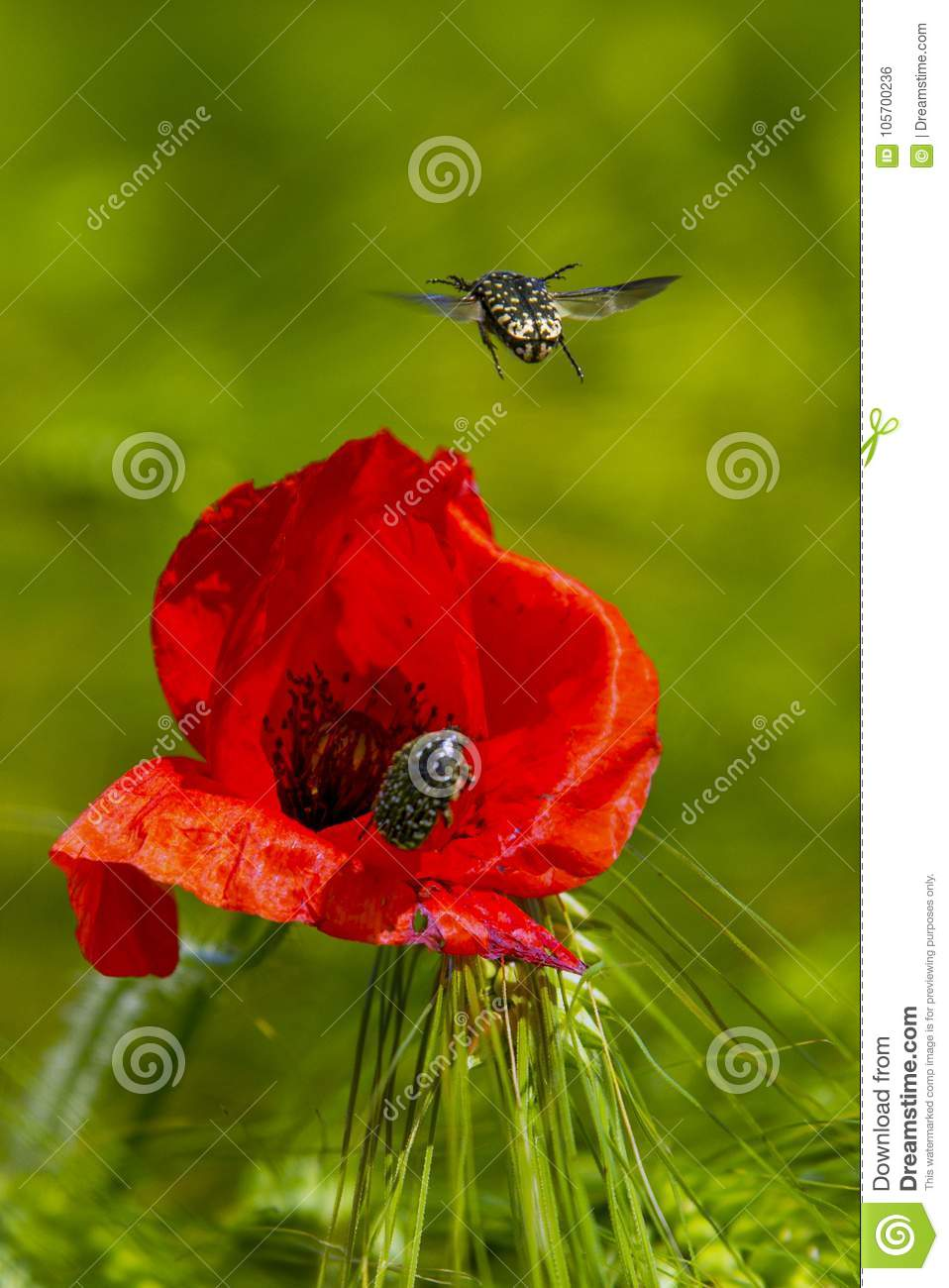 A Small Insect Flying Over A Poppy Flower Stock Photo Image Of