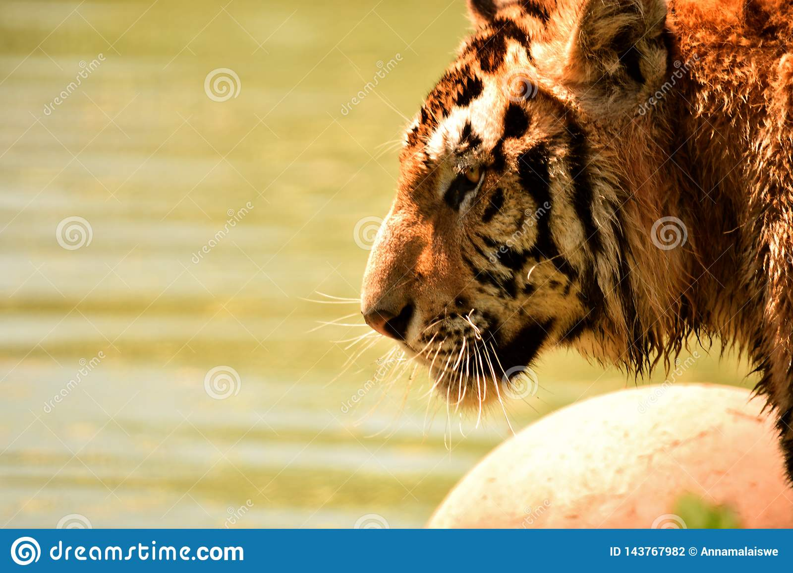 Tiger in wilderness