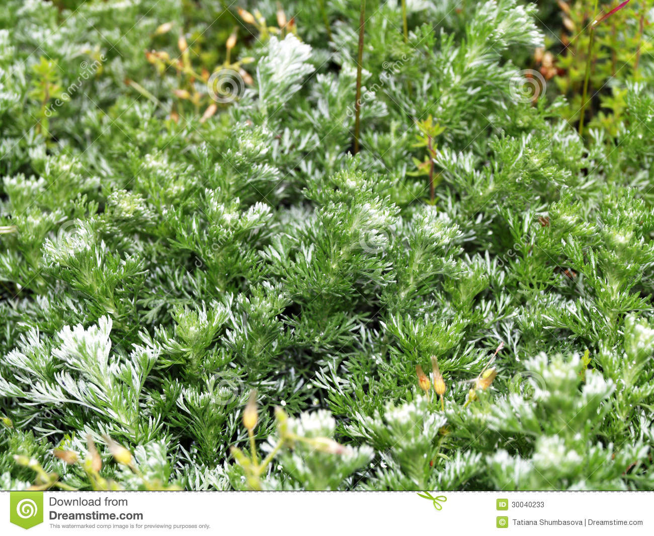 Closeup of Silver Mound Artemisia for a background.