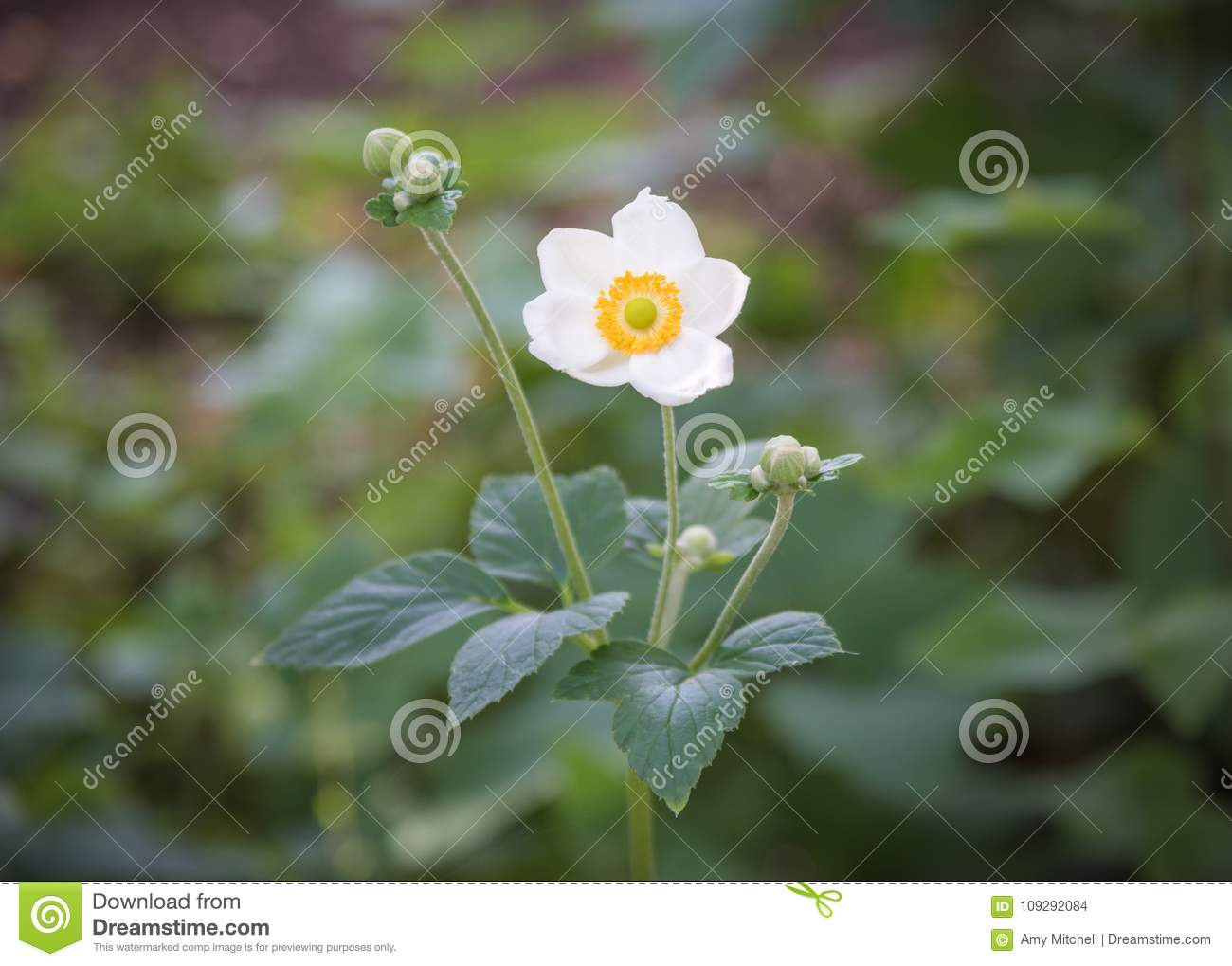 Closeup Single Flower Of White Japanese Anemone A Hupehensis With