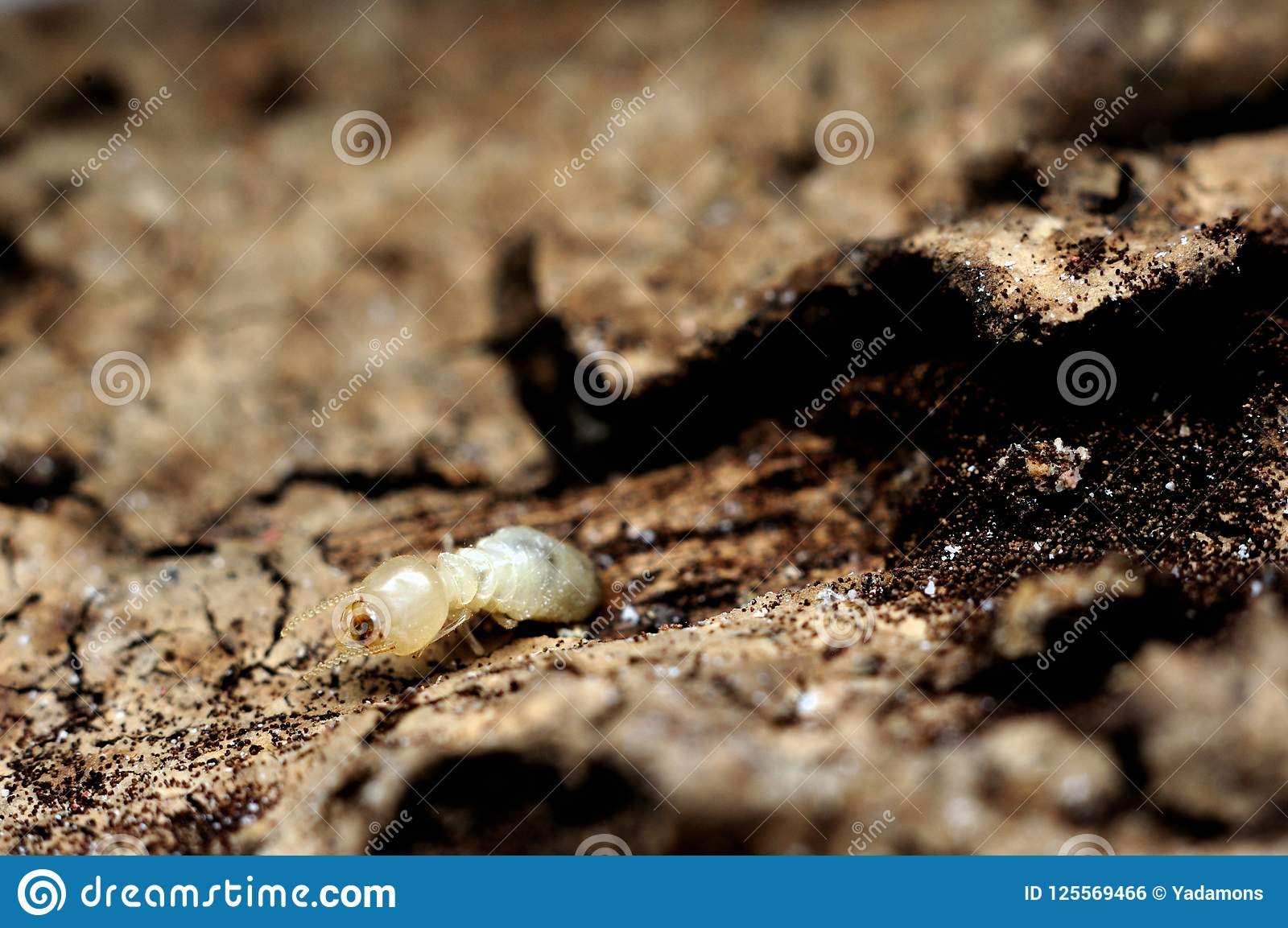Download Closeup Single Termite Eat Wood House And Furniture Stock Photo    Image Of Group,