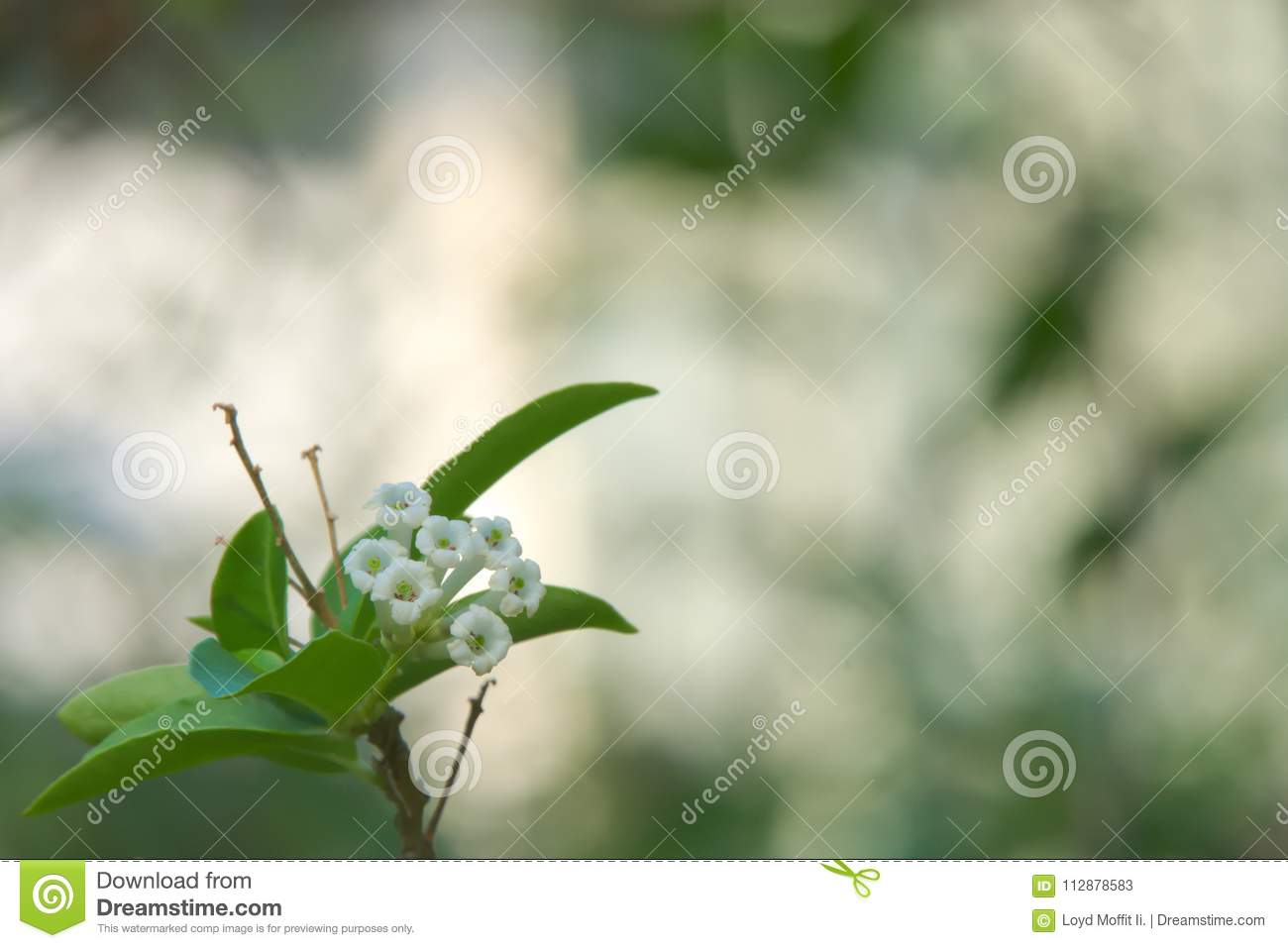 Closeup Of A Small White Cluster Of Thai Flowers With A Blurred